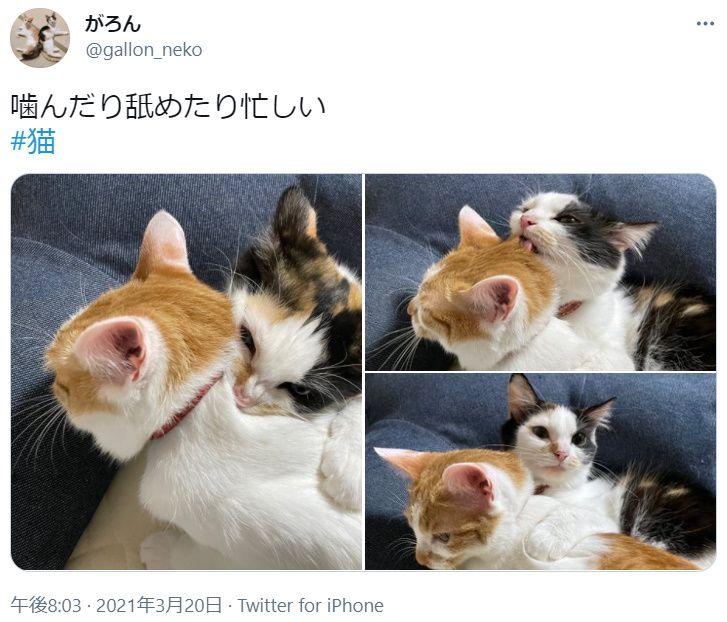 噛んだり舐めたり忙しい 妹猫が姉猫にしかけるスキンシップ