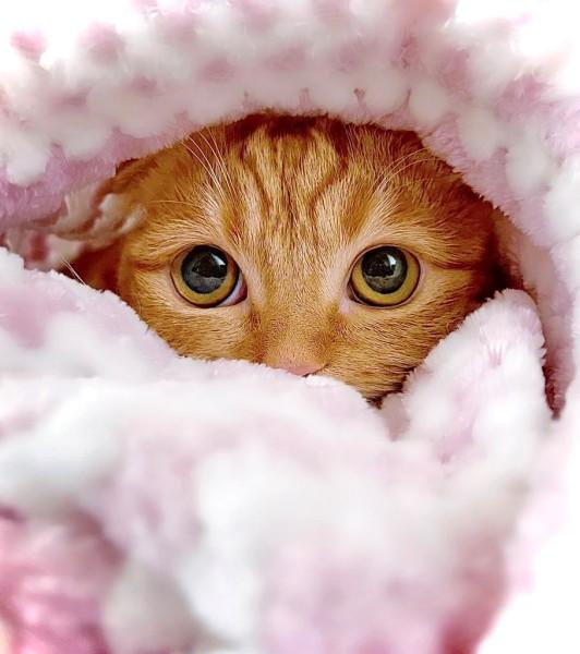 つぶらな瞳がかわいいひな子ちゃん(短足マンチカン ひな子/子猫ちゃんさん提供)