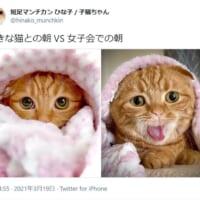 「好きな猫との朝 VS 女子会の朝」 マンチカン女子の表情…