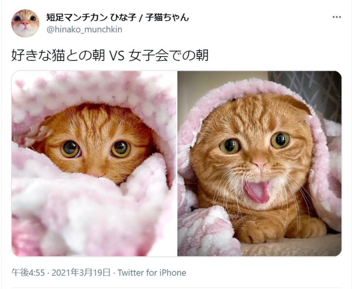 「好きな猫との朝 VS 女子会の朝」 マンチカン女子の表情ギャップがたまらない