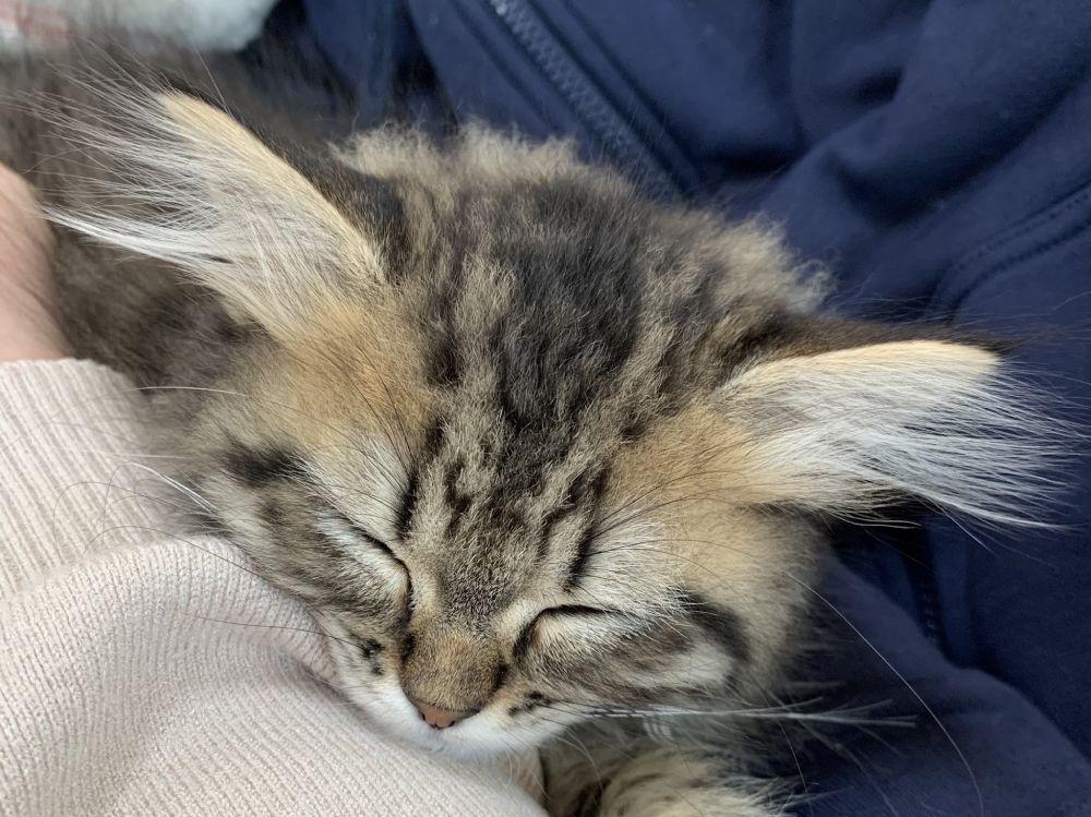 ふぁさー 耳毛がチャームポイントな子猫
