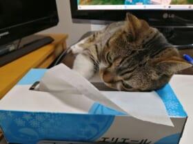 器用にティッシュを手に取る猫ちゃんの姿はTwitterで話題。