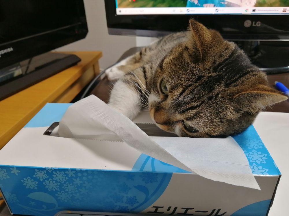 ティッシュ箱を枕に「人間臭い猫」 背中にチャックついてますか?
