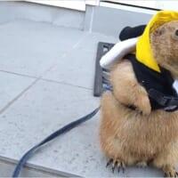 寒さで心折れたプレーリードッグ 散歩だ!→外さっ…