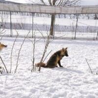 タヌキがキツネに変身? 北きつね牧場で撮られた奇…