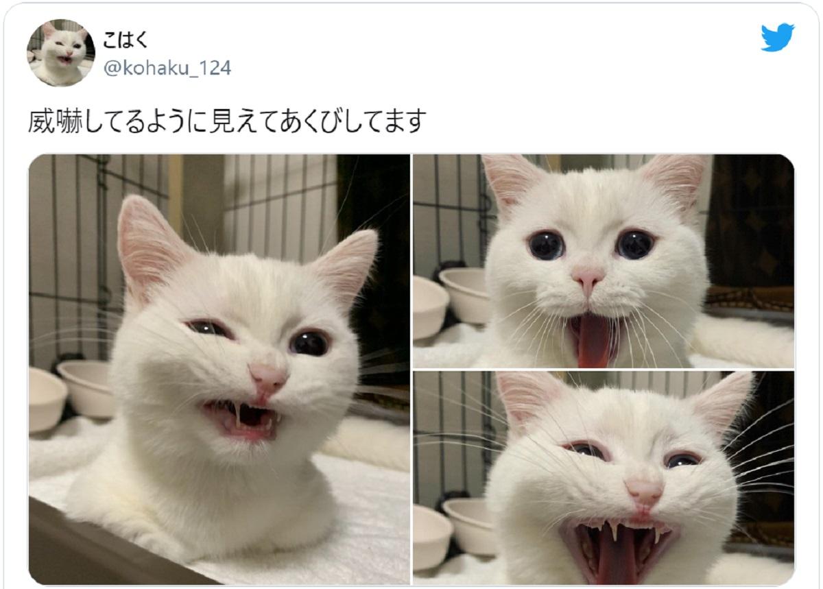 威嚇してる?愛猫のあくび写真を撮ろうと思ったら