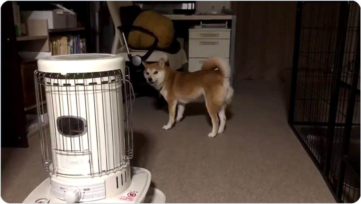 かまってアピールが独特な柴犬 飼い主が見てるか「じわ~」と確認