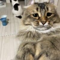 困った顔で見つめてくる猫 そんな顔で見ないで……