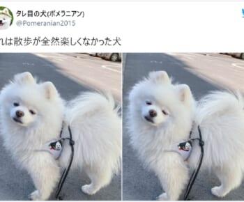 画像提供:タレ目の犬(ポメラニアン)さん(@Pomeranian2015)