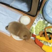 食べるのが大好きすぎてお皿の上で寝ちゃったポメラニアン