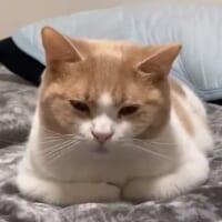 「グラビア感がすごい」 愛猫がセクシーな香箱座り…
