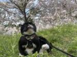 満開の桜に魅入られた猫の姿がTwitterで話題。