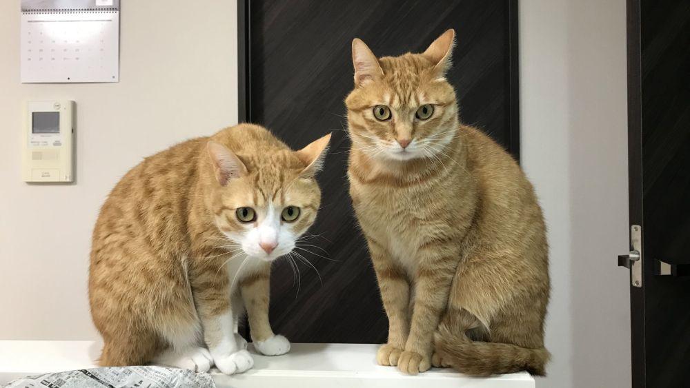 クウちゃんとは対照的に大人しい性格のカイちゃん。飼い主は猫2匹と生活しています。