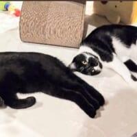 仲良し兄弟猫のみごとなニャンクロ