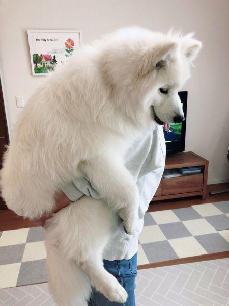 サモエドという犬種もあり、生後8か月ですでにビッグサイズのサニーくん。