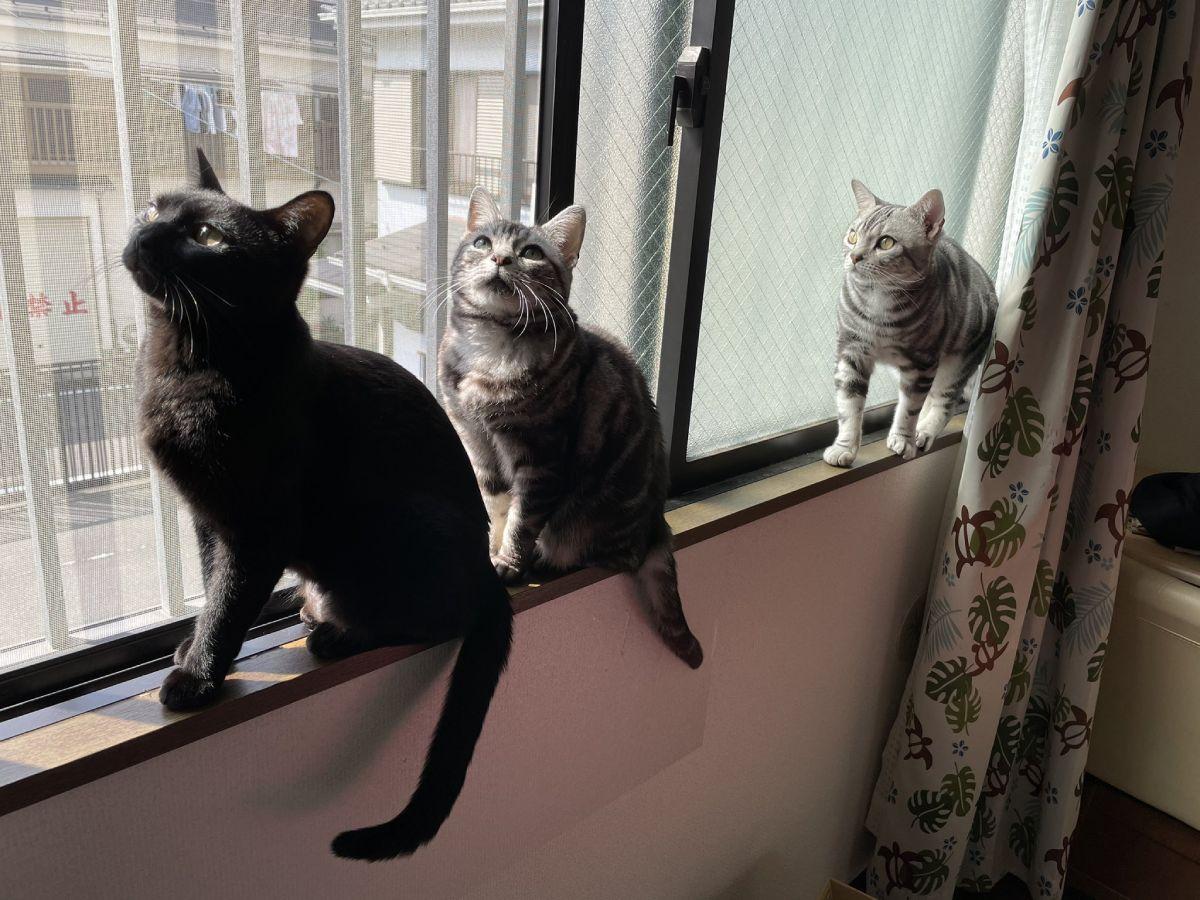 飼い主が珍しいと形容する飼い猫3匹そろい踏みのスリーショット。