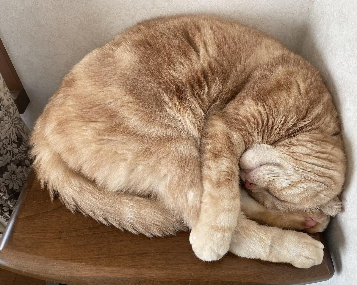 狭いスペースでも器用に眠るニャンモナイト スヤァ