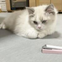 爪切り苦手な猫ちゃんの可愛い抵抗 お手々ギュッ…