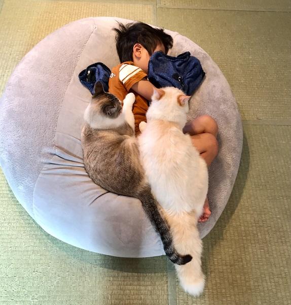 愛猫いなりくんとういろうくんの2匹がくっついて乗っていて、まるで掛け布団のように