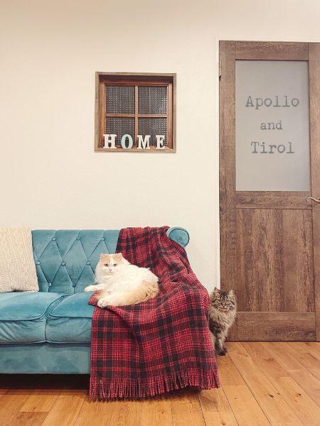 チロルくんとアポロくんはいずれもモフっとした成猫に。
