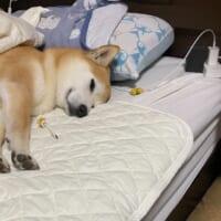 お先に失礼しますワン 飼い主のベッドでスヤスヤと眠る柴犬