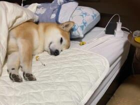 飼い主のベッドでスヤスヤ眠りにつく愛犬の姿が話題。