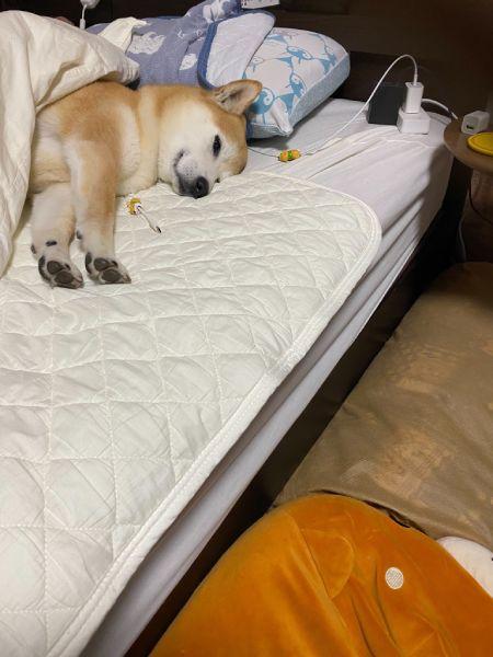 いつもランダムに就寝場所を決めるという小鉄くん。この日は飼い主の夫のベッドを選択。