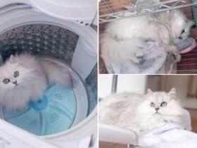 洗濯作業をするたびに愛猫に妨害される飼い主の投稿が話題。