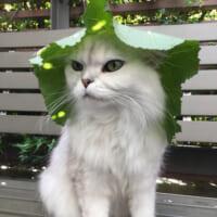 フキの葉帽子のスナフキン猫 でも旅には出ないでね?