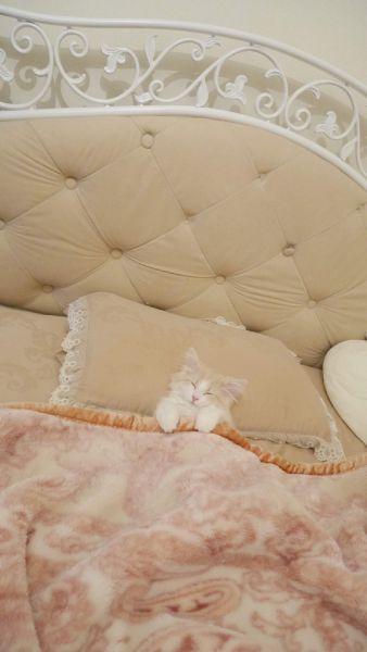 器用に毛布をかけ、首元に枕をおいて眠っているシューくん。
