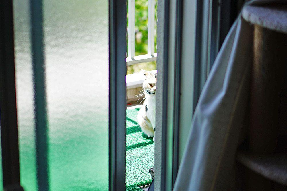 ベランダの外から飼い主をじっと見つめるタマちゃん。