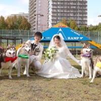 主役がどっちか分からない?ハスキー一家が花を添えた結婚写真…