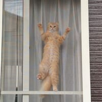スパイダーニャンかな?振り返れば愛猫が網戸クライミングの真…