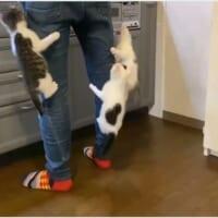 「まだ?まだ?」ご飯を待てない子猫たちが飼い主の足にジャン…