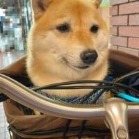しょぼーん……トリミングサロン後の柴犬の表情が悲哀に満ちて…