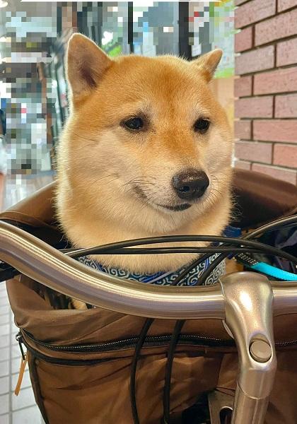 しょぼーん……トリミングサロン後の柴犬の表情が悲哀に満ちている
