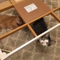 こたつを撤去された猫 まさかの出来事に放心状態?