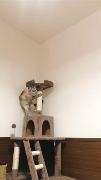 キャットタワーの柱につかまりながら2本足で立って、こちらを見つめるこよみくん