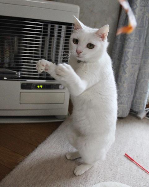ファイティングポーズを取る白猫のリリーちゃん