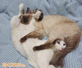 まるでプロレス技?複雑な体勢でも気持ちよさそうに眠る2匹の猫