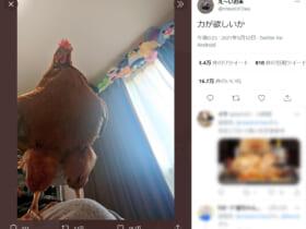 画像提供:え~いお茶さん(@niwatori3wa)