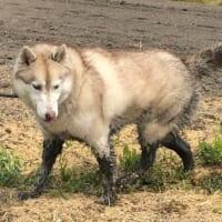 愛犬が目を離した隙にドブへダイブ シベリアンタヌキーに……