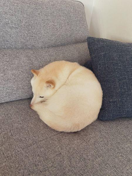 犬より猫っぽい性格というゆきちゃん。この日もお気に入りの場所で丸まっていました。