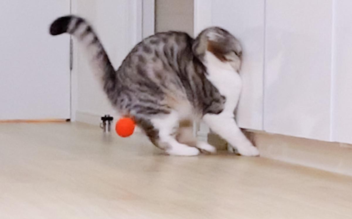 画像提供:猫のぐう スコティッシュフォールドさん(@cat_gooch)