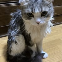 オヤツを期待したのにシャンプー 怒りのあまり他人行儀になった猫