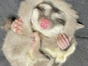画像提供:フクロモモンガの露(つゆ)はだいたい眠いさん(@tsuyukusa_430)