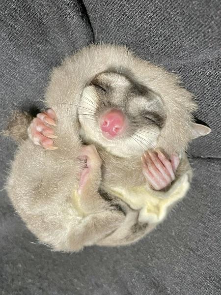 尻尾を顔にマキマキしながら眠るモモンガが尊い