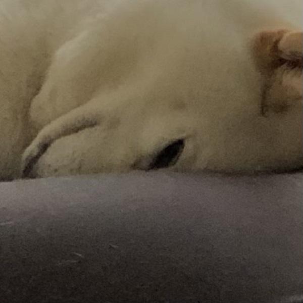 柴犬のチョビちゃん