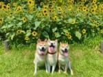 満開のひまわり畑の前に集う柴犬の満面の笑みの姿が話題。