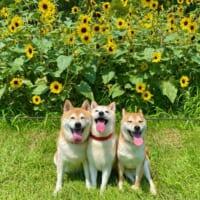 ひまわり畑で柴わんこ集合 最高の夏を感じさせる1…